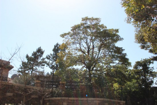 ディズニーシーの木